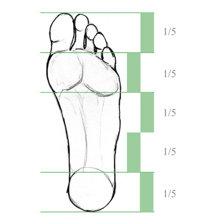 proportions of a foot